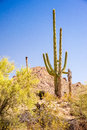 Iconic southwest scene a majestic saguaro cactus towers above the colorful sonoran desert landscape Stock Photography