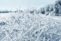 Icy branches photo of winter nature with Royalty Free Stock Photo