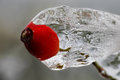 Icy hip in autumn after ice rain Royalty Free Stock Images