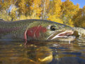 Idaho steelhead trout caught in the boise river Royalty Free Stock Photos