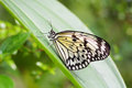 Idea Leuconoe butterfly also called Wood Nymph Royalty Free Stock Photo