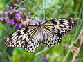 Idea leuconoe butterfly. Paper kite butterfly. Royalty Free Stock Photo