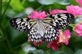 Idea leuconoe Paper Kite butterfly Royalty Free Stock Photo