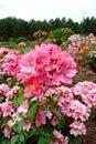 Ideal rose rosaceae family rosa genre iasi romania spek polyantha Royalty Free Stock Photo
