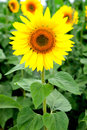 Ideal weight achieved image of beautiful sunflower photographed close Stock Images
