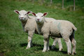 Identical twin lambs side by side Royalty Free Stock Photos