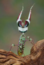 Idolomantis threat display Royalty Free Stock Photos