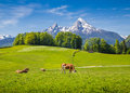 Idyllic landscape in the Alps with cow grazing on fresh green mountain pastures Royalty Free Stock Photo