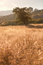 Idyllic Meadow and Oak Tree at sunset Royalty Free Stock Photo