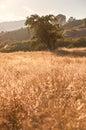 Idyllic Meadow and Oak Tree at sunset Royalty Free Stock Photo