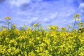 Idyllic polish yellow field Royalty Free Stock Images