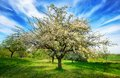 Idyllic rural landscape at springtime in spring a beautifully blossoming apple tree in mid frame standing on a fresh green meadow Royalty Free Stock Images