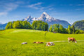 Idyllic summer landscape in the Alps with cows grazing on meadows Royalty Free Stock Photo
