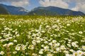 Idyllic summer meadow panorama wild flowers and mountain landscape Stock Photos