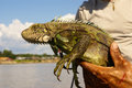 Iguana amazon peru america sur Stock Photos