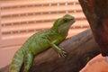 Iguana Balancing On A Tree Bra...