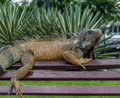 Iguana on a bench parque de las iguanas guayaquil ecuador Royalty Free Stock Images