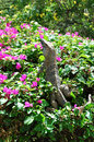 Iguana on a bougainvillea shrub photo of costa rica Stock Photography