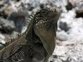 Iguana, Cayo Largo Royalty Free Stock Photos