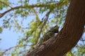 Iguana Climbing Up A Tree Trunk