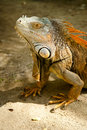 Iguana Close-up Stock Photos