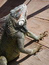 Iguana on a deck Stock Photos