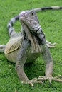 Iguana on the grass, Guayaquil, Ecuador Stock Image