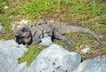 Iguana on the grass mexico Stock Photo