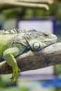 Iguana green at the zoo in bucharest romania Stock Images