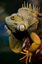 Iguana (herbivorous genus of lizard) Royalty Free Stock Photos