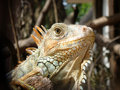 Iguana iguana. Royalty Free Stock Photos