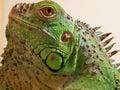 Iguana iguana detail of animal Stock Image
