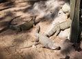 Iguana iguana iguana in natural Royalty Free Stock Photo