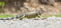 Iguana iguana iguana in it s natural habitat Royalty Free Stock Images