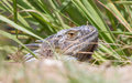 Iguana iguana iguana in it s natural habitat Royalty Free Stock Photography