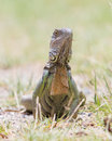Iguana iguana iguana in it s natural habitat Stock Image