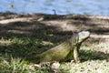 Iguana lagoon of illusions,tomas garrido canabal park Villahermosa,Tabasco,Mexico Royalty Free Stock Photo