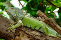Iguana lazy lay on the tree Stock Images