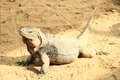 Iguana lazy lying and having rest on sand Royalty Free Stock Photography