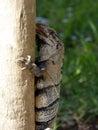 Iguana Licking Palm Tree In Tu...