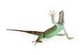 Iguana Lizard Raising Hand Up Royalty Free Stock Photo