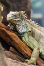 Iguana lizard stand still Royalty Free Stock Photos