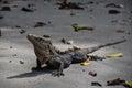 Iguana in Manuel Antonio National Park, Costa Rica Royalty Free Stock Photo