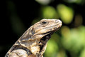 Iguana Native to Yucatan Peninsula Stock Image