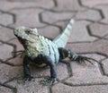 Iguana outdoor. Lizard Royalty Free Stock Photo