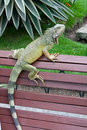 Iguana park on a bench wild in a public in guayaquil ecuador Royalty Free Stock Photo