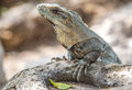 Iguana the picture was taken in chichen itza Stock Photography