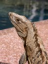 Iguana by Pool Side Stock Images