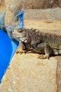 Iguana poolside Royalty Free Stock Photo