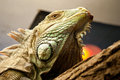 Iguana portrait of in zoo Stock Photo